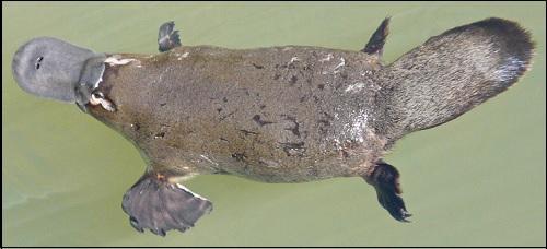 Kuvan vesinokkaeläin mainitaan kirjassa Roswellin avaruusolennon haastattelu esimerkkinä erikoislaatuisesta eläimestä.